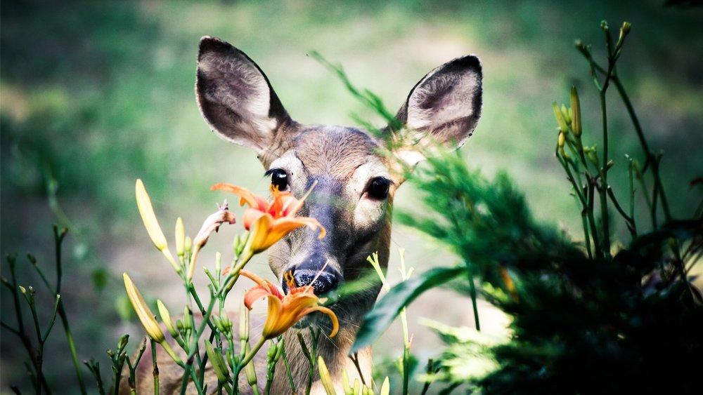 Deer Fence The Wireless Deer Fence 174 Deer Repellent